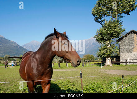 brown horse in a country house rural yard, Pian di Spagna, Lombardy, Italy - Stock Image