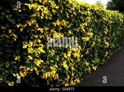 Variegated Hedge - Stock Image