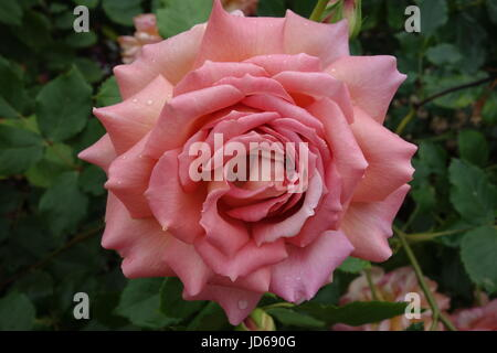 Pink Rose with Raindrops - Stock Image
