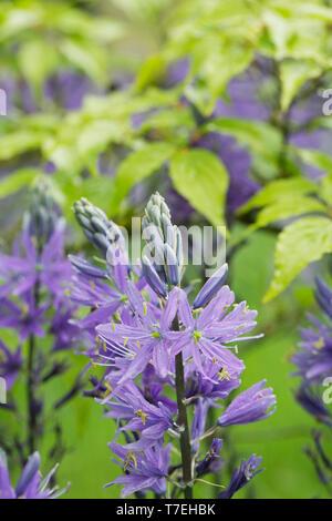 Camassia leichtinii caerula flowers poking through Cornus leaves. - Stock Image