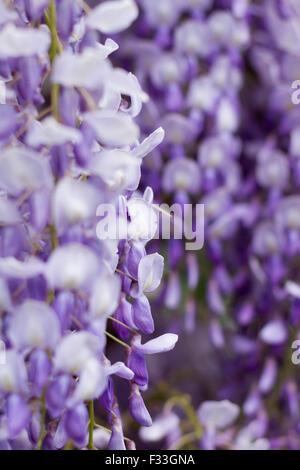 purple violet flowers - Stock Image