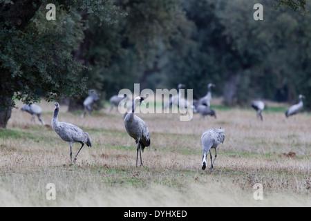 Grauer Kranich, Grus grus, Eurasian Crane, group in dehesa, Extremadura, Spain, feeding on acorns - Stock Image