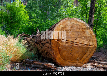 Large tree chopped cut stump at Main Loop trail in Bandelier National Monument in New Mexico during summer in Los Alamos - Stock Image