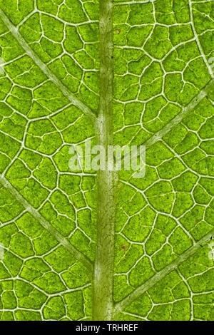 Plant leaf veins, sage leaf - Stock Image