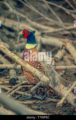 Ring-necked Pheasant (Phasianus colchicus) in the evening among downed tree branches, Wheatridge Colorado US. - Stock Image