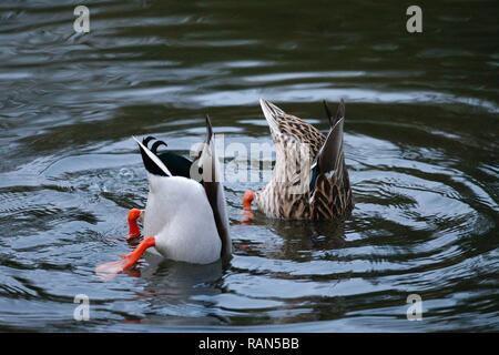 Hastings, East Sussex, UK. 05 Jan, 2019. UK Weather: A chilly start to the morning in Alexandra park in Hastings, East Sussex. A male and female mallard duck (Anas platyrhynchos) with tails up, heads in pond water looking for food. © Paul Lawrenson 2018, Photo Credit: Paul Lawrenson / Alamy Live News - Stock Image