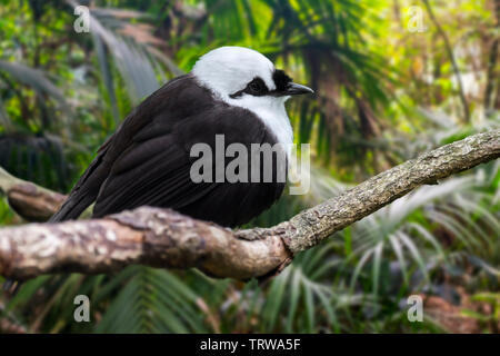 Sumatran laughingthrush / black-and-white laughingthrush (Garrulax bicolor) endemic to the Indonesian island of Sumatra - Stock Image