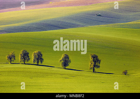 View on the chestnuts and tractor fertilize a field in South Moravia - Stock Image