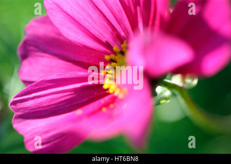 stunning pink cosmos sonata, soft focus and ethereal Jane Ann Butler Photography  JABP1858 - Stock Image