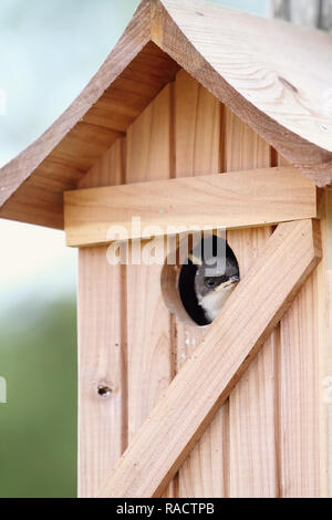 A fledgling sparrow peeks out of the opening of the cedar bird house. - Stock Image