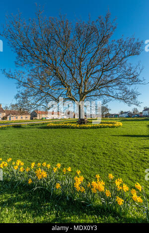 Extensive daffodil flowers on the rural village green at Eppleby North Yorkshire in evening sunshine and a clear blue sky - Stock Image