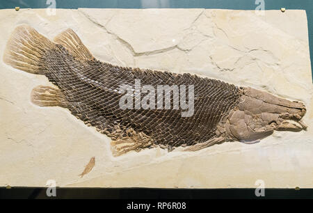 Fossil Gar fish (Lepisosteus simplex) with well preserved scales. Eocene age. The Field Museum. Chicago, Illinois, USA. - Stock Image