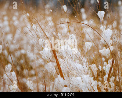 Switch grass in snow. - Stock Image
