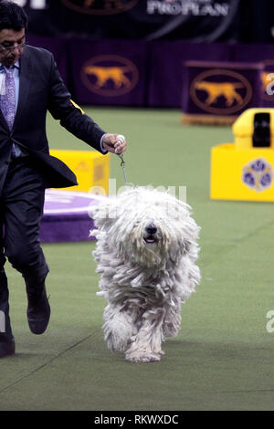New York, USA. 12th Feb 2019. Westminster Dog Show - New York City, 12 February, 2019:  Addison, A Komondor with his handler during judging in the Working Group competition at the 143rd Annual Westminster Dog Show, Tuesday evening at Madison Square Garden in New York City. Credit: Adam Stoltman/Alamy Live News - Stock Image
