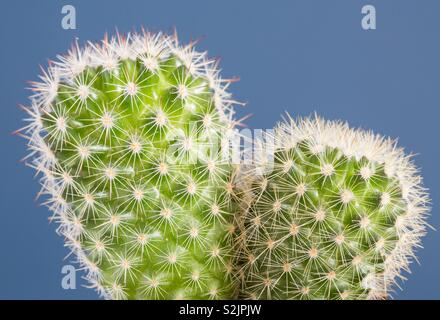 A close up of a prickly round cactus showing its spiny thorns in detail on a blue background - Stock Image