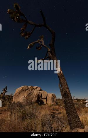 Joshua Tree leans into the moonlight - Stock Image
