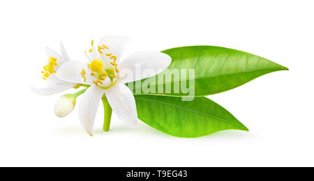 Isolated orange flowers. Blossoming branch of orange tree isolated on white background with clipping path - Stock Image