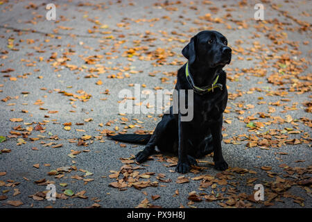 Black Labrador Retriever sitting on the gray ground and looking right during autumn, dog has green collar, orange leaves are around - Stock Image