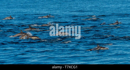 Pod of Long-beaked common dolphins (Delphinus capensis) off the coast of Baja California, Mexico. - Stock Image