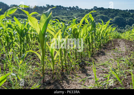 Young maize corn crop growing in field with blue summer sky. - Stock Image