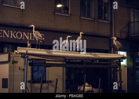 Grey herons (Ardea cinerea) on awning in urban market at night, Amsterdam, Netherlands. February - Stock Image