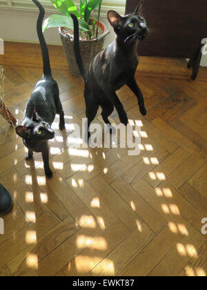 Black Oriental Siamese Kittens - one year old - on a sunny day on a parquet floor, standing on hind legs. - Stock Image
