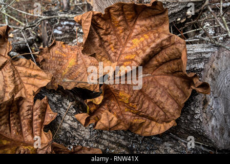 Sycamore tree leaves are a thing of beauty, especially in the autumn months. - Stock Image