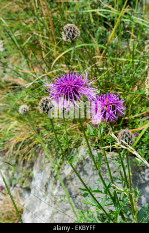 greater knapweed Centaurea scabiosa, Cressbrook Dale NNR Peak District National Park June 2014 - Stock Image