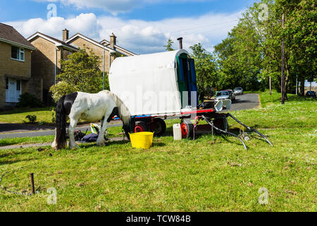 A tri-coloured Irish cob/gypsy vanner is grazing tethered on a verge next to a plain vardo caravan with a dog asleep on the front. - Stock Image