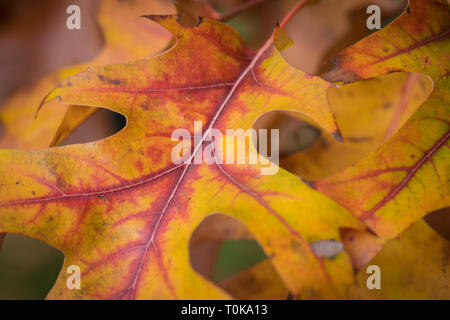 Pin Oak 'Quercus palustris' in its autumn foliage in Hampton Court, London, United Kingdom - Stock Image