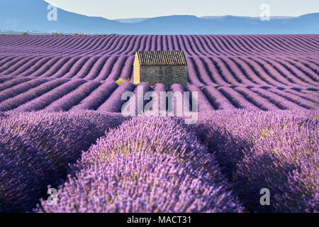 Lavender fields in Valensole with stone house in Summer light. Alpes de Haute Provence, France - Stock Image