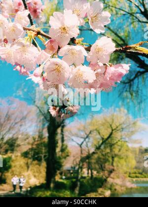 Lovely park in Spring with light pink sakura or cherry blossoms, with pond, blue sky and willow trees in the background. - Stock Image