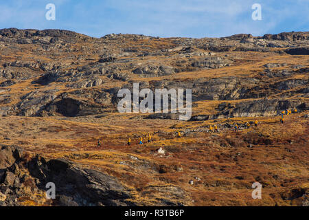 Greenland, Scoresby Sund, Gasefjord. Gasegletscher. Hikers on the hillside. - Stock Image
