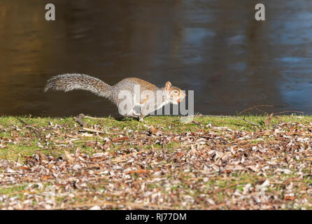 Grey Squirrel UK Sciurus carolinesis, running with acorn in it's mouth, Regent's Park London UK - Stock Image