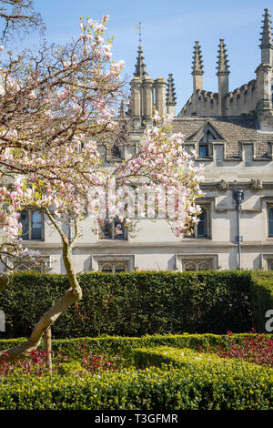 A Magnolia Tree in full bloom with Magdalen College behind - Stock Image