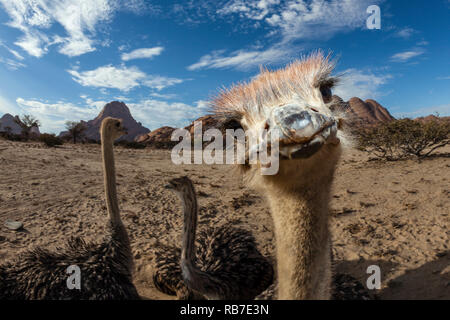 South African Ostrich, Struthio camelus australis, Spitzkoppe, Namibia - Stock Image