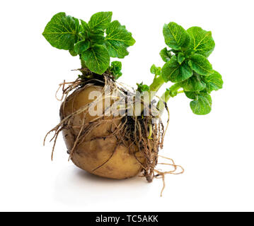 Potato  tuber with new green sprouts isolated on white. Ready to plant. - Stock Image