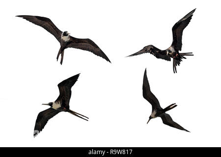 Adult female Fregata magnificens Magnificent frigatebird flying in various postures isolated on white background - Stock Image