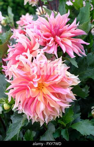 Close-up of flowers of Dahlia Labyrinth, a giant decorative Dahlia - Stock Image