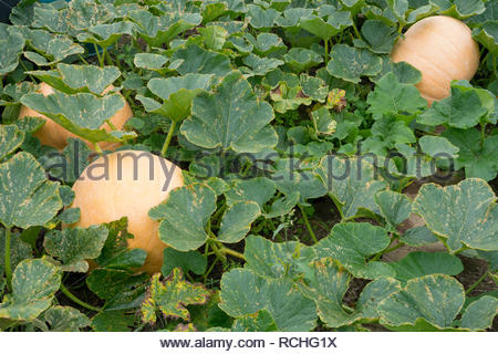 Fully grown pumpkins amongst plant leaves on a vegetable patch - variety is Giant Pumpkin - Stock Image