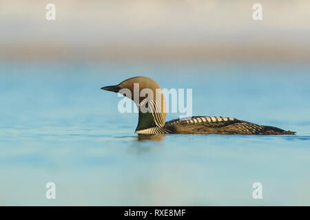 Pacific Loon (Gavia pacifica) feeding on a small pond on the tundra in Northern Alaska. - Stock Image
