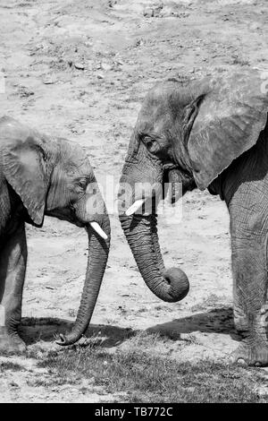 Black & white photograph of two African elephants (close-up side view) mother and baby, head to head, facing each other together outside in sunshine. - Stock Image