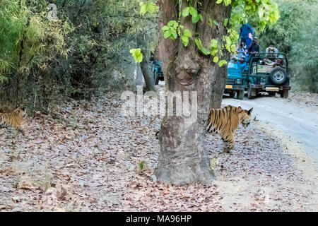 Little two month old wild Bengal Tiger Cubs, Panthera tigris tigris, walking towards a road with tourist vehicles, Bandhavgarh Tiger Reserve, India - Stock Image