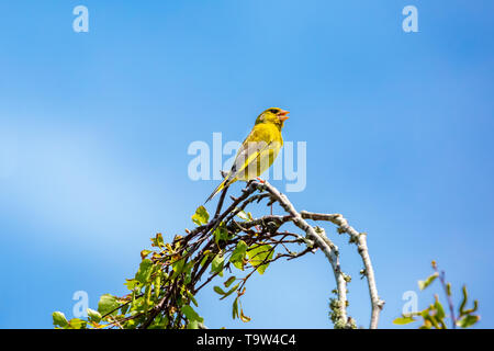 Isolated Greenfinch (Carduelis chloris) adult male bird in spring perched up high on blue background. - Stock Image