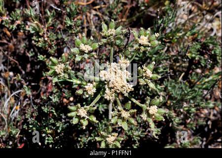Southern Tauschia, Tauschia arguta, Cuyamaca Rancho State Park, CA 080518_30364 - Stock Image