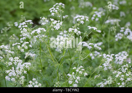 Anthriscus sylvestris. Cow parsley in an English garden. - Stock Image