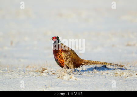 Common pheasant (Phasianus colchicus torquatus) male in winter standing on snow covered ground - Stock Image