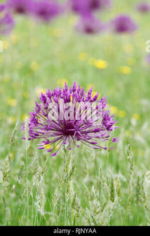Allium 'Purple Rain' at RHS Wisley garden. - Stock Image