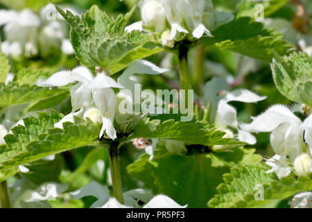 White Deadnettle (lamium album), close up of a single flower head out of many. - Stock Image