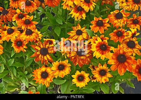 Close up of flowering Rudbeckia 'Summerina Yellow' in a flower border - Stock Image